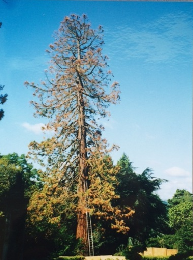 The stump of Veitch's Giant Redwood